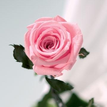 Echte, konservierte Rose; rosa / Unvergängliche Rose