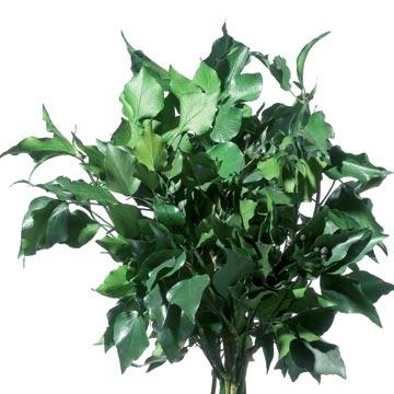 Konservierter Efeu, grün