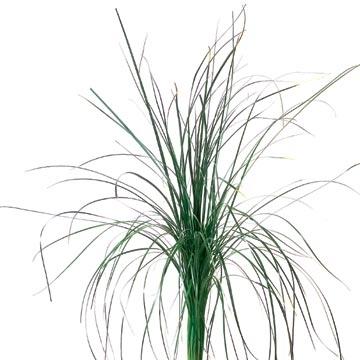 Konserviertes Bear Gras